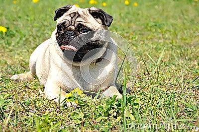 Dog pug