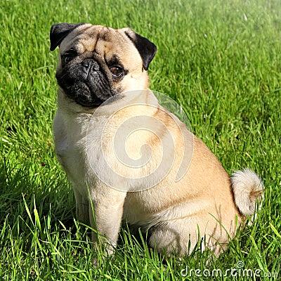 Free Dog Pug Stock Photo - 25912260