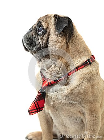 Free Dog Pug In Tie Royalty Free Stock Images - 119242979