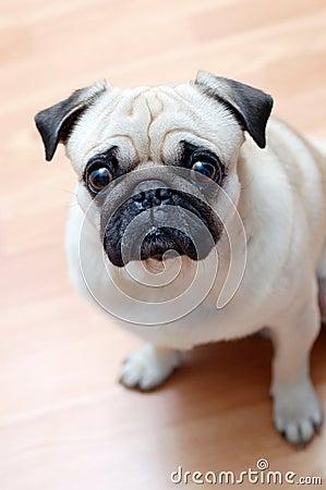 Dog pug on a parquet