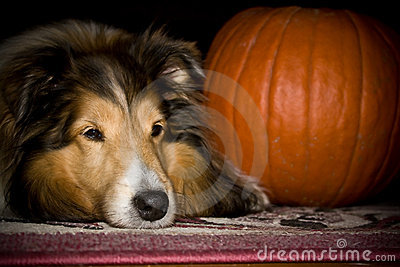 Dog with pumkin