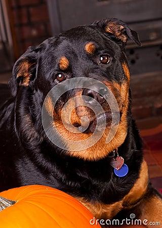 Dog with a Pumpkin