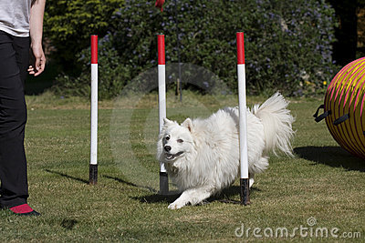 Dog puppy in weave poles