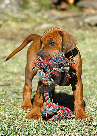 Free Dog Puppy With Toy Royalty Free Stock Photos - 1229498