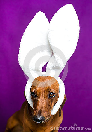 Dog with rabbit ears