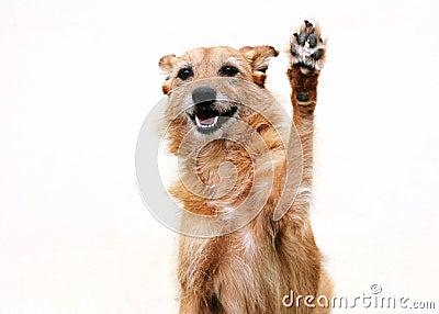 Dog with raised paw