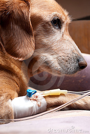 Dog recovering with cannula intravenous therapy