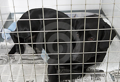 Dog Recovering In Vet s Kennels