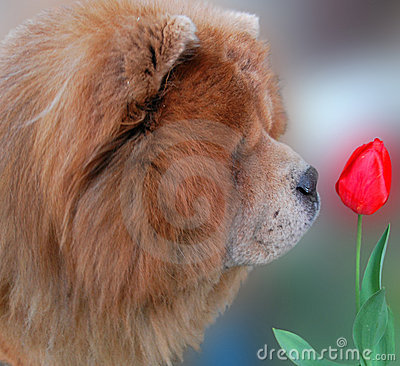 Dog and red tulip