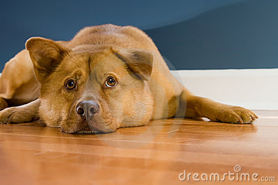 Dog resting on hardwood floor