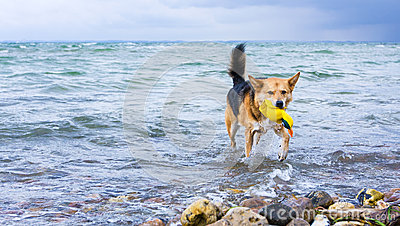Dog retrieving a toy at the beach
