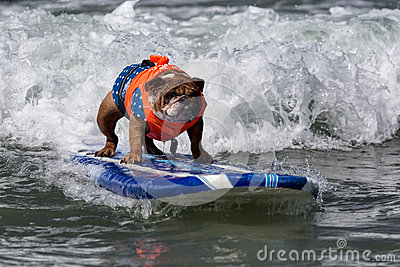 Dog riding waves on surfboard Editorial Stock Image