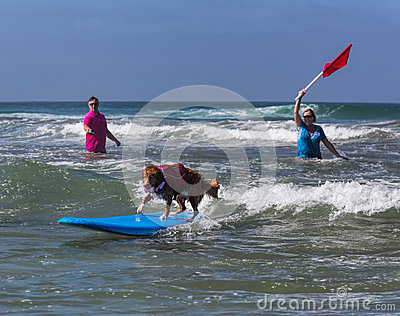 Dog riding waves on surfboard Editorial Photography