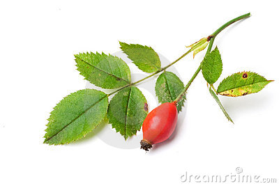 Dog rose fruit and leaves. rosa canina