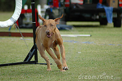 Dog running in agility