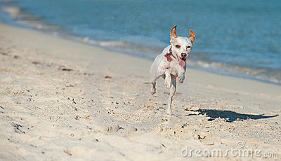 Dog running along the seashore