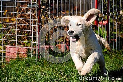 Dog running with floppy ears - Golden Retriever