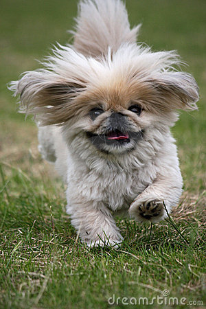 Free Dog Running Pekingese Stock Photos - 5454143