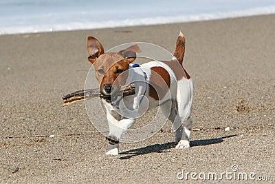 Dog running with stick