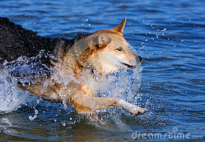 Dog jumping into the water