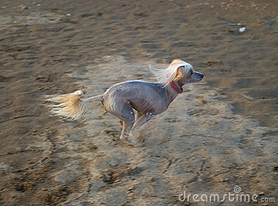 Dog runs on sand