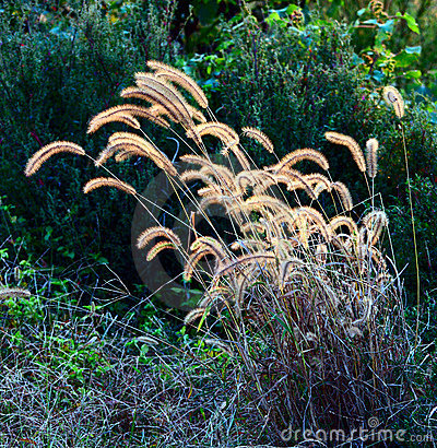 Dog s tail grass