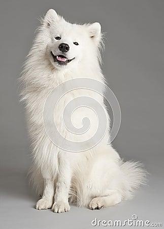 Dog samoyeden