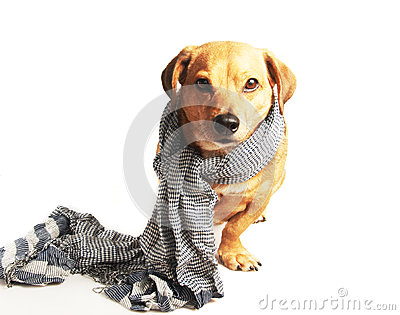 Dog and scarf