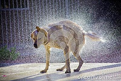 Dog shaking water in the sunshine