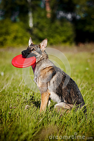 Dog sits and keeps disc
