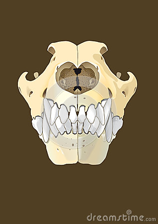 Dog skull front