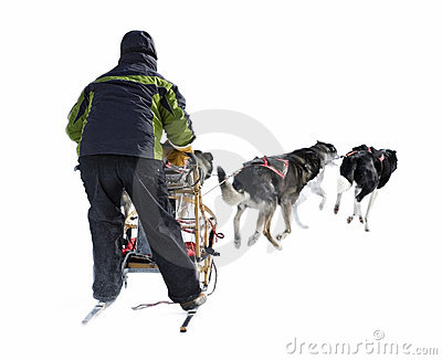 Dog Sled Musher and Dog Team Against White