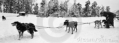 Dog Sled Team Editorial Stock Image