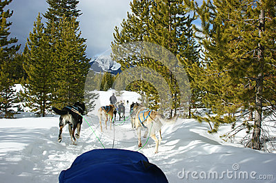 Dog sledding in Montana