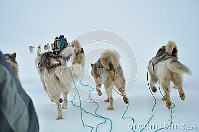Dog sledging trip, running dog
