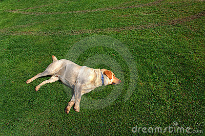 Dog sleeping on the grass