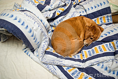 Dog sleeping in an unmade bed