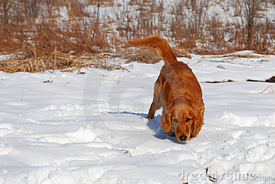 Dog at snow Stock Photo