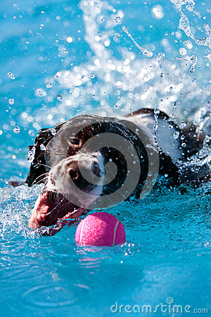 Dog Splashes While Retrieving Ball In Pool