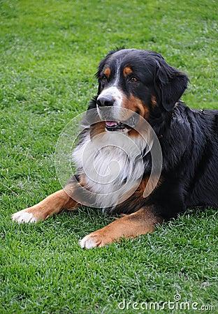 Dog - St Bernard