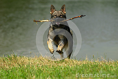 Dog with stick.