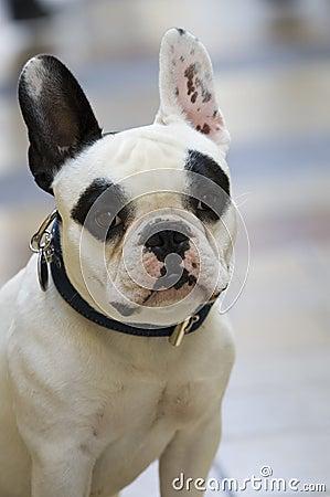 Dog on street french bulldog white and black