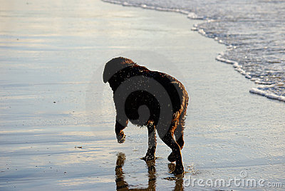 Dog in the surf