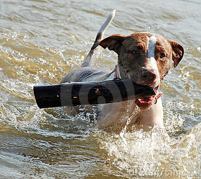 Dog Swimming and Fetching