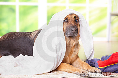 Dog in towel