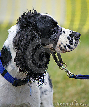 Free Dog Training Collar Royalty Free Stock Images - 9169449