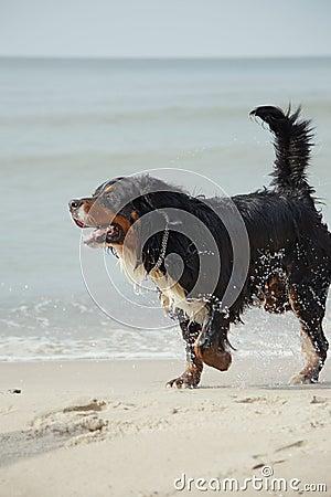 Dog walks on beach