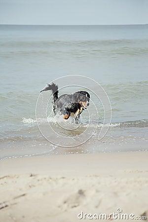 Dog walks in water
