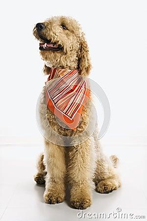 Dog wearing bandana
