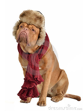 Dog wearing fur cap with ear flaps and a scarf
